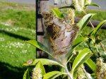 tent caterpillars in a Russian Laurel
