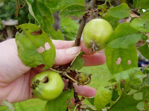 gravenstein apple in spring - mcu