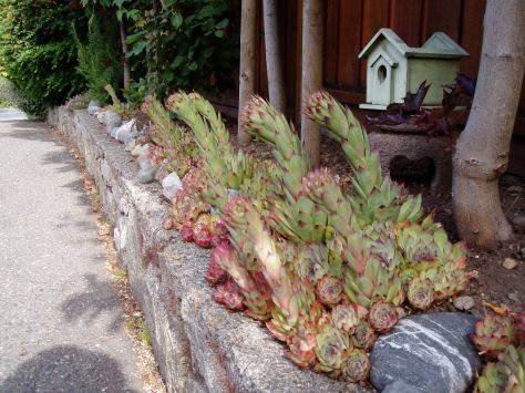 hens and chicks and ????
