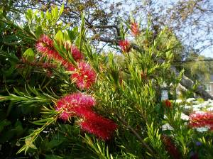 bottlebrush blooms Callistemon garden Victoria BC Pacific Northwest