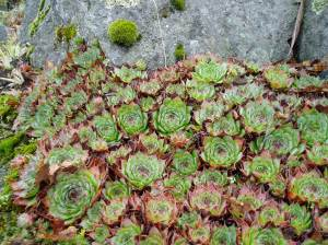 cu hens & chicks on rocks