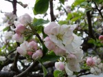 apple blossoms in May
