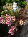 hens and chicks and roosters in bloom in july garden Victoria BC