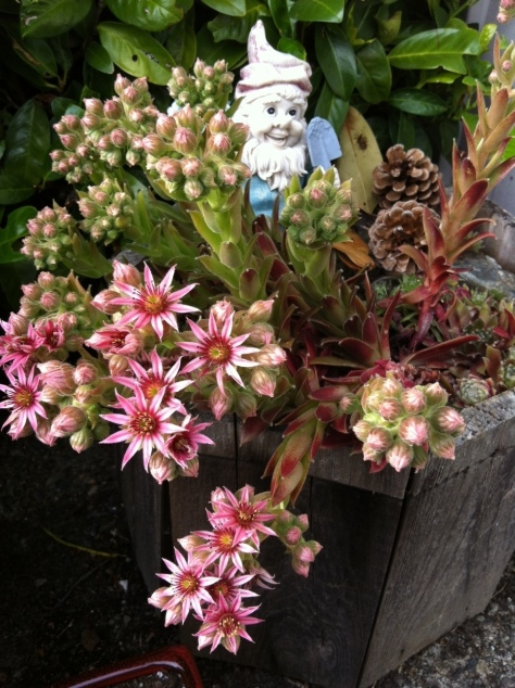 hens and chicks and roosters in bloom