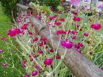 lychnis in bloom garden Victoria BC
