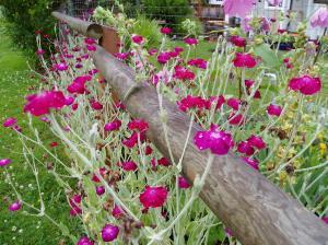 lychnis coronaria, rose campion, bloom garden Victoria BC