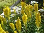 goldenrod & shasta daisy, garden Victoria BC