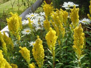 goldenrod & shasta daisy