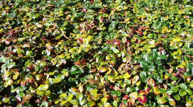 wild strawberry patch at Camosun, garden Victoria BC Pacific Northwest