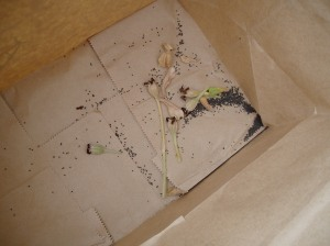 lychnis coronaria, rose campion, seed in a paper bag