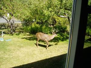 Deer under gravenstein apple tree