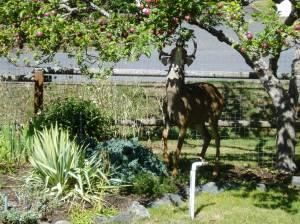urban black tail deer under sparten apple tree garden Victoria, Vancouver Island, BC, Pacific Northwest