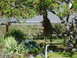 urban black tail deer climbing sparten apple tree Victoria, Vancouver Island, BC, Pacific Northwest garden