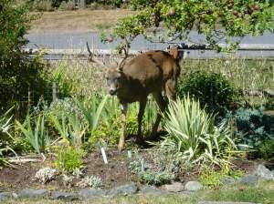 Deer in the full sun border