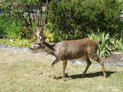 Deer crossing lawn