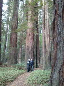 Redwoods along the Avenue of the Giants