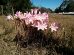Naked Ladies in a California ditch