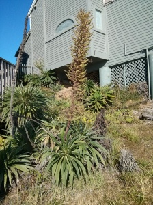 unusual plant along trail in Gualala, California