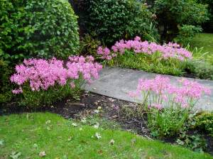Nerine Lilies along a Victoria path