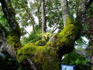 blackberry growing up in a gary oak tree