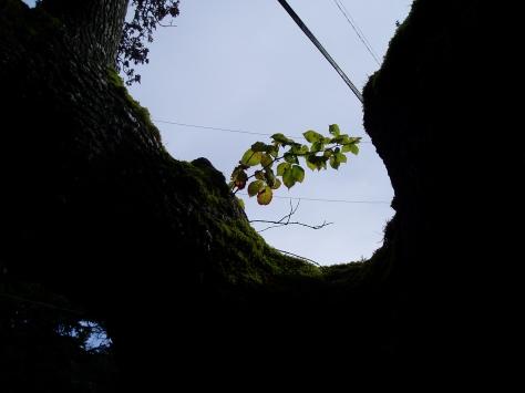 blackberry growing in a gary oak