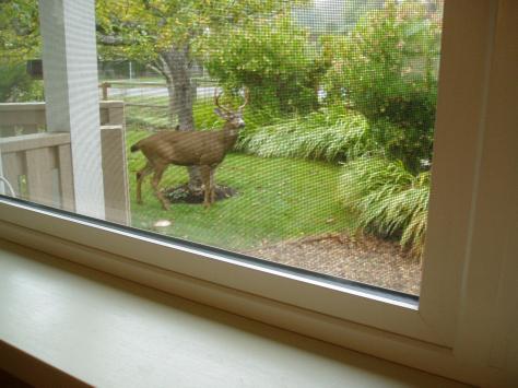 Buck at kitchen porch