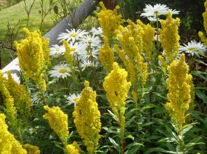 goldenrod & Shasta daisy blooming in august
