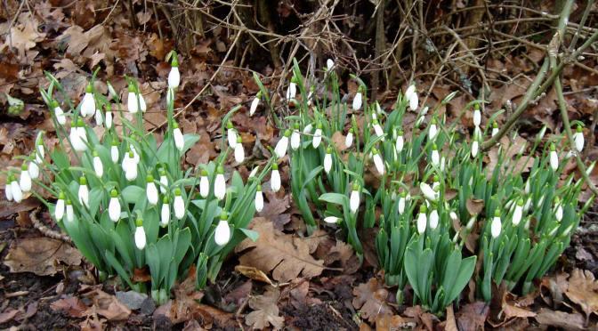 Winter's Joy – Snowdrops