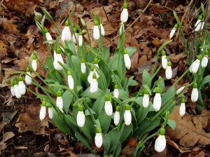 snowdrops blooming 2013 12 27