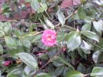 camellia in december, at LD downtown, garden Victoria BC Pacific Northwest