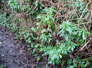 daphne beside trail