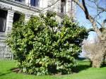 camellia, february, at the legislature, garden Victoria BC Pacific Northwest