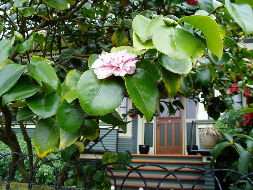 camellia, march, near the YM-YWCA, garden Victoria BC Pacific Northwest