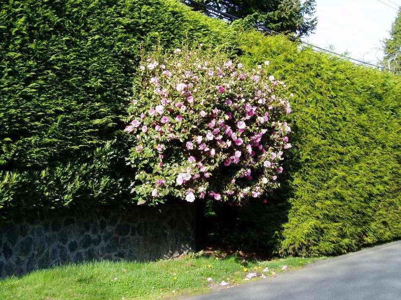 camellia, , mid april, waterloo, garden Victoria BC Pacific Northwest