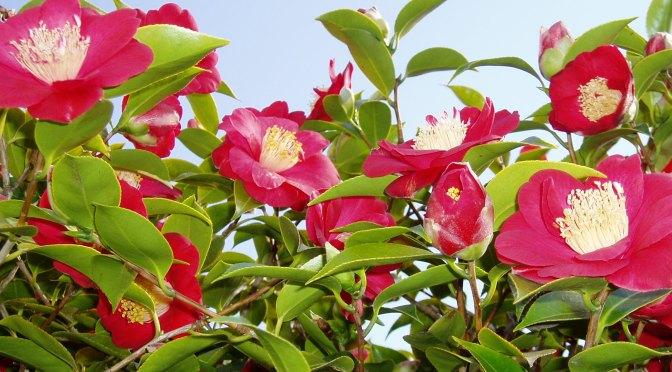 Early Camellia