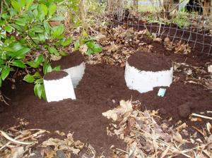 protecting the perennials with buckets