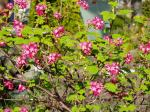 red flowering currant ms