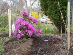early rhododendron