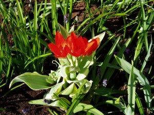 species tulip Tulipa praestans unicum garden Victoria, BC Vancouver Island, Pacific Northwest