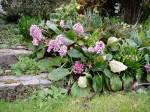 elephant ears (bergenia) in bloom Victoria garden