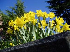 daffodils Narcissus at Camosun College garden Victoria, Vancouver Island, BC, Pacific Northwest