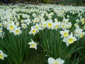 meadow of daffodils Narcissus at the Horticultural Centre of the Pacific