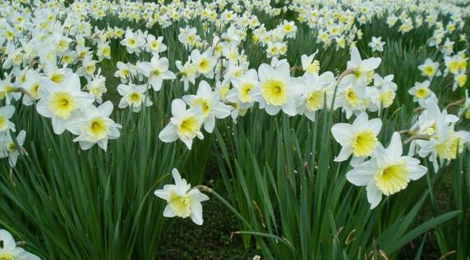 Narcissus Daffodil, jonquil, daffadowndilly, meadow at HCP garden Victoria BC Pacific Northwest