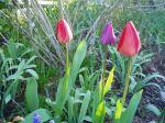 Tulip buds that the deer haven't eaten... yet