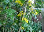 oregon grape (mahonia) in bloom Victoria garden BC Pacific Northwest