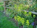 euphorbia in bloom Victoria BC garden