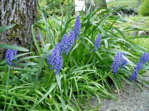 grape hyacinth, Muscari armeniacum garden Victoria, Vancouver Island, BC, Pacific Northwest