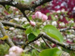 gravenstein apple blooms in april garden Victoria BC
