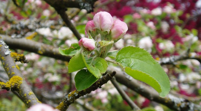 gravenstein apple blooms in april garden Victoria, Vancouver Island, BC, Pacific Northwest