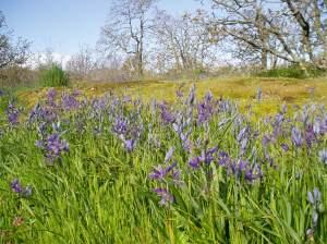 early camas bloom Mt. Tolmie, gary oak meadow, garden Victoria BC